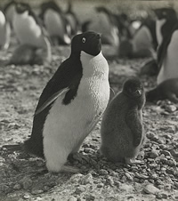 Adelie-penguin-chick-200-11056